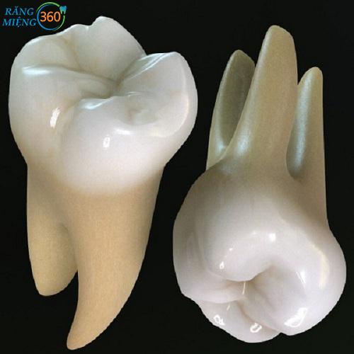 Răng số 6 có mấy chân